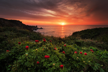 Fototapeta Magnificent sunrise view with beautiful wild peonies on the beach near Tylenovo, Bulgaria