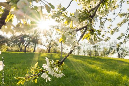 Fotografie, Tablou  Obstblüte einer Streuobstwiese im Frühling