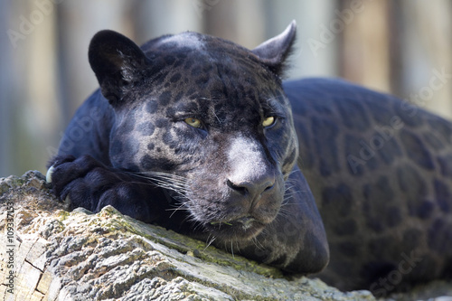 Photo Stands Panther portrait, Jaguar Panthera onca, black form