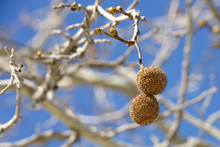 Seed Pods For Sycamore Tree Hanging From Branch With Blue Sky Background