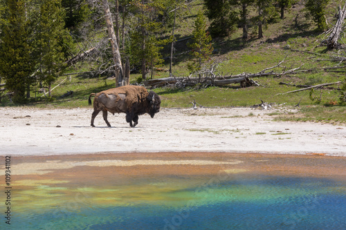 Bison Near Old Faithful Geyser Yellowstone National Park