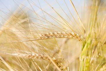 Ripe wheat ears in the summer sunshine