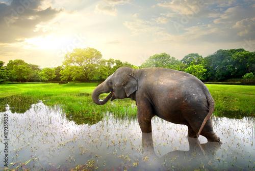 Obrazy na płótnie Canvas Elephant in pond