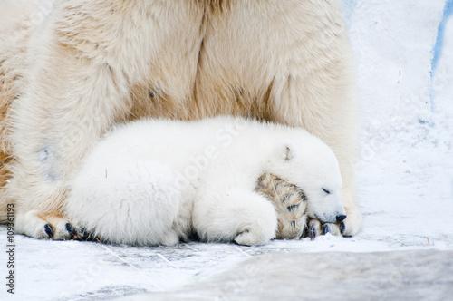 Staande foto Ijsbeer Little polar cub bear sleeps on his mother's paws.