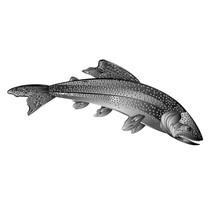 American Brook Trout Salmon-pr...