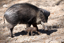 Visayan Warty Pig, Sus Cebifrons Negrinus, Sow With Cub