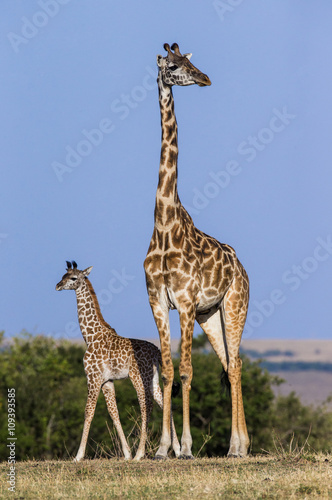 Vászonkép Female giraffe with a baby in the savannah
