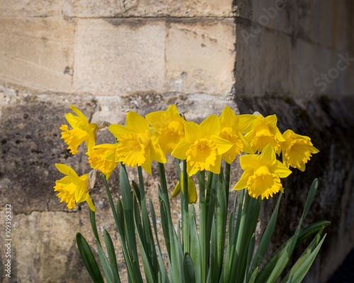 In de dag Narcis Yellow Daffodil Narcissus Flowers Blooming, Stone Wall Backgroun