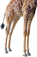 The Legs Of A Rothschild Giraffe