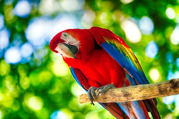 Fototapeta Red ara parrot outdoor