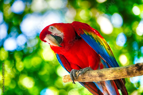 Photo sur Toile Perroquets Red ara parrot outdoor
