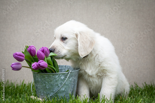 Photo  Golden retriever puppy with purple tulips