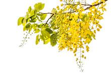 Golden Shower(Cassia Fistula)