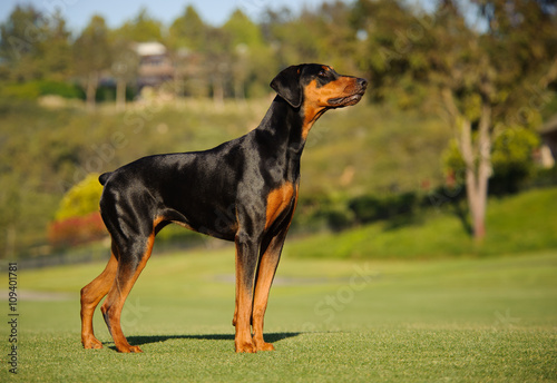 Doberman Pinscher Dog With Cropped Ears And Red And Tan Marking