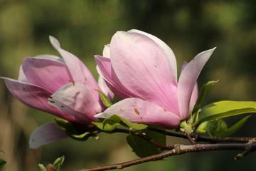FototapetaCouple of pink magnolia tree blossom close up