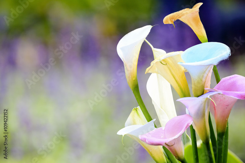beautiful calla lily with nice background color Canvas Print