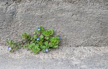 Tiny Blue Flowers (Veronica Filiformis) On Grey Stone