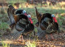 Three Gobbler Turkeys In Full ...