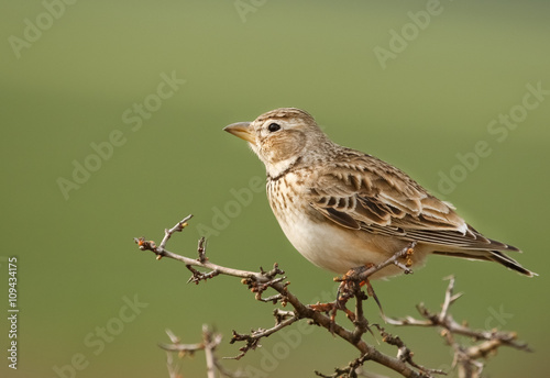 Calandra lark, Melanocorypha calandra on branch, with green background Fototapeta