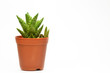 Succulent isolate on white background