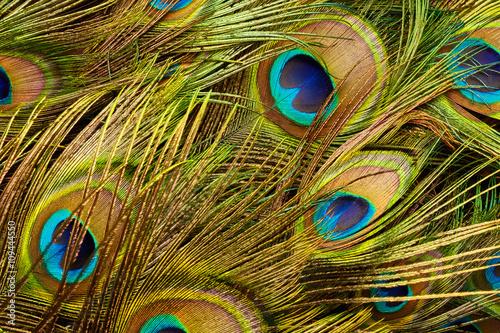Foto op Aluminium Pauw Texture of peacock feathers