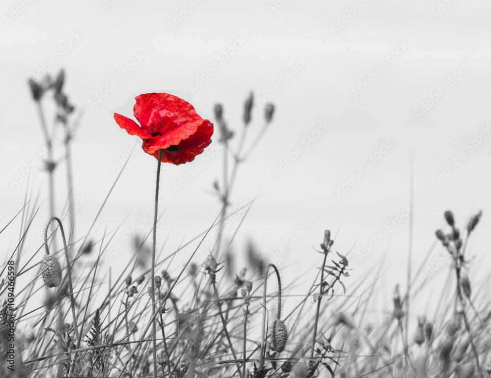 Fototapety, obrazy: Kwiat maku w kolorze czerwonym na czarno-białym tle, one color