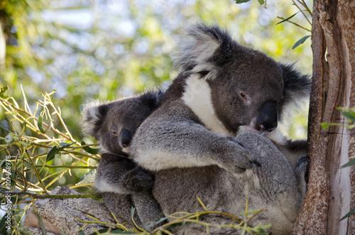 Garden Poster Koala koala and joey in tree