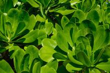 The Leaves Of Mangrove Trees O...