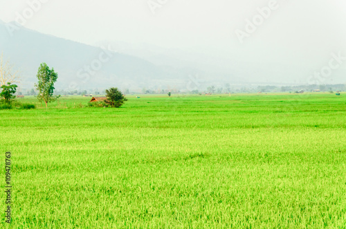In de dag Lime groen green rice field landscape of Thailand