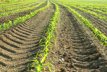 Foreground Rows Of Small Corn ...