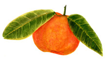 Watercolor Drawing Of Bright Orange Colored Tangerine With Green Leaves