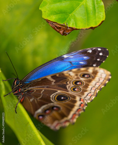 Fotografie, Obraz  Blue morpho (morpho peleides) on green nature background.