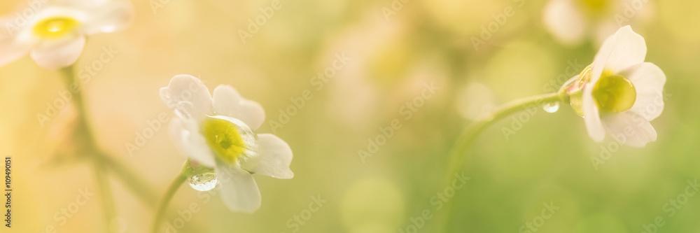 Fototapety, obrazy: Frühlingsblumen auf der Wiese mit Tautropfen - Panorama