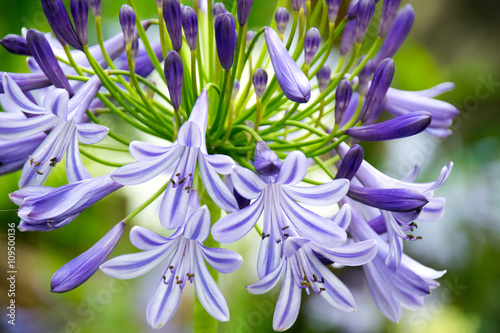Close-up Beautiful white and soft purple agapanthus africanus flower Wallpaper Mural