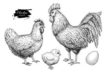 Vector Chicken Breeding Hand D...