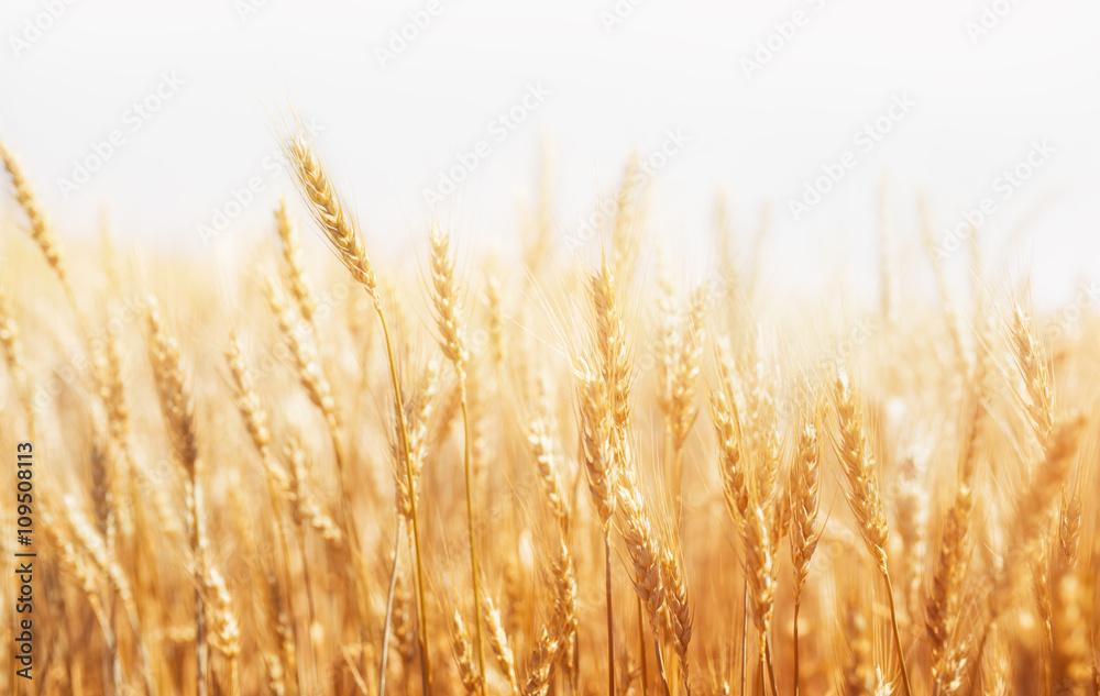 Fototapeta Wheat Farm