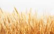 canvas print picture - Wheat Farm