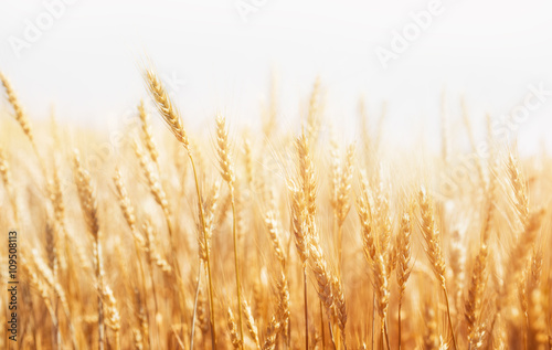 Wheat Farm Poster