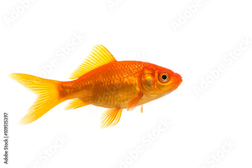 Fotografie, Tablou Single Goldfish seen from the side isolated on a white background