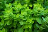 Green oregano, wild oregano