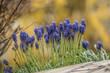 canvas print picture - blaue Trauben Hyazinthen vor verschwommenen Hintergrund - Muscari im Garten