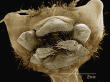 Coloured SEM Of Mouthparts Of ...