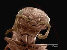 Coloured SEM Of Head Of Velvet Ant (Mutilidae)