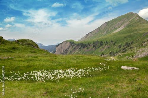 Fotografie, Obraz  white flowers in an Alpine meadow