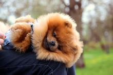 Pomeranian Dog In A Park. Cute...
