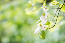 Dogwood Flower( Cornus Flori...