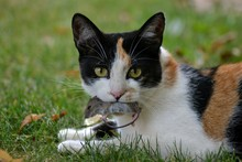 Cat With Mouse