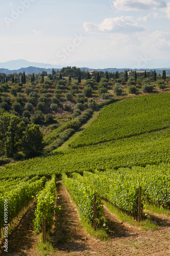 vineyard - Tuscany - 109590706
