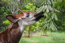Okapia Johnstoni Having Lunch
