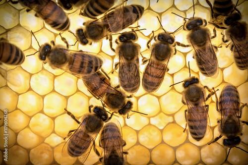 api operaie al lavoro Canvas Print